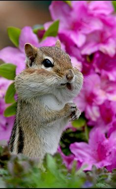 Chipmunk - Though not ours, we have many of these little creatures.  They collect bird seed from ground placed trays intended for doves and other ground feeders.  They stuff their cheeks as you see here and then take the seeds to their burrow for the winter.