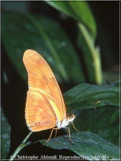Papillons tropicaux Dryas iula