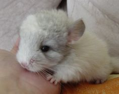 Baby Chinchilla...people need no never ever kill these things...soooo cute