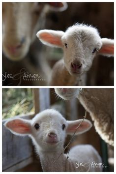 tiny twos - fine lamb photography (and so farm fresh) 2 new barnyard cards Sheep And Lamb, Baby Sheep, Farm Animals, Cute Animals, Feed My Sheep, Beside Still Waters, Yes And Amen, Baby Lamb, Country Girl Style