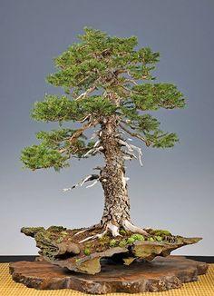 #Bonsai… Gallery of Walter Pall #European #spruce www.roanokemyhome...