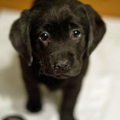 """""""My sunshine doesn't come from the skies, it comes from the love in my dogs eyes.""""  (Black Labrador Retriever Puppy)"""