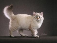 Siberian cat.  First imported to the U.S. from Russia in 1990.  Large, massive cat but very docile.