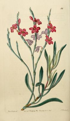 Edwards' botanical register - STATICE monopetala