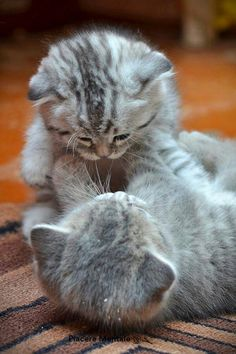 twin grey kittens cute play fighting