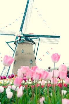 Lovely pink tulips, white windmill in Holland. Leiden, Pink Tulips, Pink Flowers, Le Moulin, Covered Bridges, Rotterdam, Beautiful World, Beautiful Places, Netherlands
