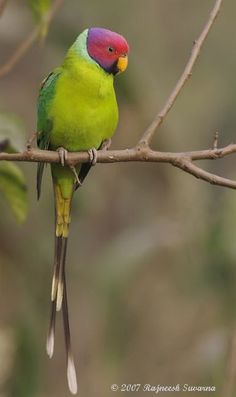 Colorful birds - The male Plum-headed Parakeet.