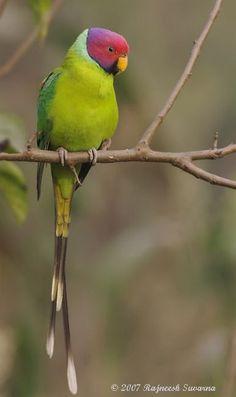 Colorful birds - The male Plum-headed Parakeet.