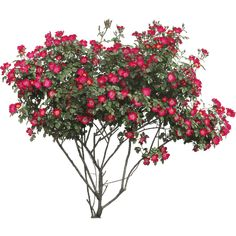 Search results for various flowers PNG. Here's a great list of various flowers transparent PNG images. Hibiscus Shrub, Hibiscus Plant, Hibiscus Flowers, Red Flowers, Flower Png Images, Vector Flowers, Flower Silhouette, Tree Silhouette, Photoshop