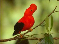 """Este ave emblema de Perú conocido como Gallito de las Rocas o """"Tunqui"""" (quechua), se encuentra principalmente en los bosques húmedos de la selva alta peruana cerca de los acantilados y arroyos. El ritual de apareamiento de esta ave es realmente todo un espectáculo para quien tiene la oportunidad de observarlo.  #faunaperuana #rupicolaperuviana #amazonia"""