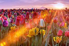 tulip farm sunrise