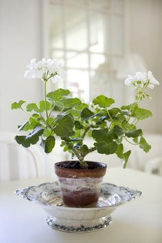 white geraniums // that white stuff that grows on terra cotta pots makes me worry, is it a fungus? does it hurt the plant? ugh