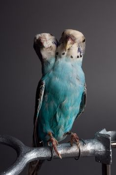 Two-Headed Parakeet