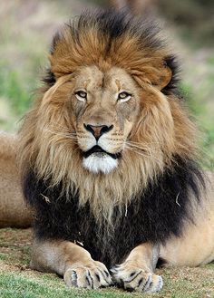 The magnificent Izu in all of his glory in Lion Camp at the San Diego Wild Animal Park on March Original size is best Big Cats, Crazy Cats, Cats And Kittens, Beautiful Lion, Animals Beautiful, Funny Animals, Cute Animals, Wild Animals, Baby Animals