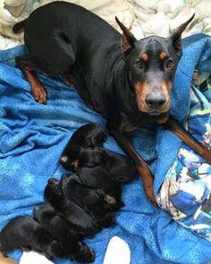 AKC/CKC Registered Doberman Pinscher puppies