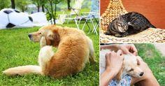 Soluciones caseras y naturales para mantener alejadas a las pulgas y garrapatas de tus mascotas y los ambientes de tu hogar.