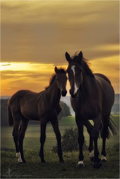 ♂ Animals photography brown horses at sunset by Angela Hofmann