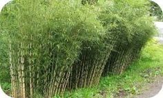 "Bamboe Fargesia robusta ""Campbell"""