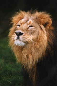 ASIATIC LION....aka the Indian lion and Persian lion....an endangered lion in India....stands 43 inches tall....650 exist in the wild as of August 2017