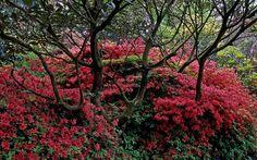 Leonardslee Gardens, West Sussex, UK   A peaceful scene with red Kurume azaleas beneath ancient rhododendrons (7 of 23)   by ukgardenphotos