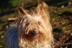 Meet Harry, a 12-years-young brown and grey Silky Terrier mix. It's hard to believe Harry is a senior citizen, with his smile, energy and silky coat that say otherwise. He's quiet and sweet, an easy going guy that's interested in other dogs. Harry was ADOPTED! from Seattle Humane, January 2017