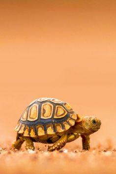 Imalikshake: baby tortoise by lady bothma bebek kaplumbağalar, sevimli hayv Baby Tortoise, Tortoise Turtle, Cute Tortoise, Tortoise Habitat, Cute Turtles, Baby Turtles, Sea Turtles, Turtle Baby, Turtle Love