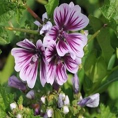 Hollyhock Zebrina Flower Seeds (Malva Sylvestris) 50+Seeds - Under The Sun Seeds  - 1