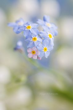 """1 Thessalonians """"But we do not want you to be uninformed, brothers, about those who are asleep, that you may not grieve as others do who have no hope."""" - Forget-me-not by Kinga Wróblewska on Butterfly Flowers, My Flower, Flower Power, Wild Flowers, Real Flowers, Little Flowers, Beautiful Flowers, Bokeh Photography, Happy Paintings"""