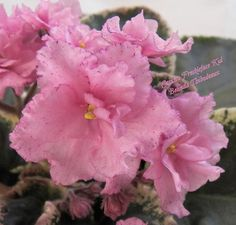 African Violet Plant Cajuns Freckleface Kid | eBay Cajun's Freckleface Kid (10582) 01/11/2013 (B. Thibodeaux) Semidouble-double pink frilled pansy/variable raspberry speckled edge. Variegated dark green, cream and pink, plain, heart-shaped. Standard