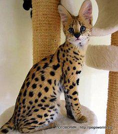 savannah cat pictures   Savannah. Cat cheetah