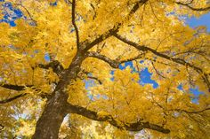 Walnut Tree, Joseph H. Steward...: Photo by Photographer Don Paulson - photo.net