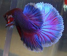 Purple Half moon male bred by Karen Mac Auley