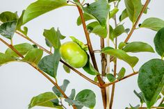 Fuyu Asian Persimmon - Perfect Plants
