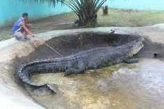 Supposedly, this is currently one of the world's largest saltwater crocodiles. Giant Animals, Animals And Pets, Cute Animals, Cute Reptiles, Reptiles And Amphibians, Dangerous Fish, Saltwater Crocodile, Aliens, Prehistoric Creatures