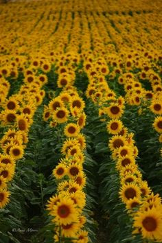 Amazing sunflower fields in Provence, France by pauline
