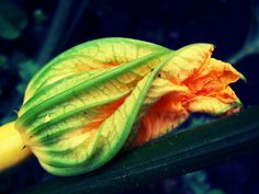 Maybe grow some courgettes for th flowers.  Look for some good recipes.