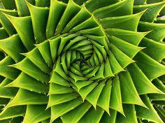 """Espiral verde. Tomado en los jardines botánicos de Auckland .Resulta que la planta se llama """" Aloe polyphyla """""""