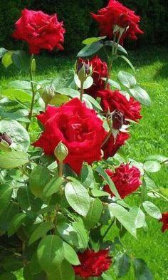Beautiful roses fragantes...
