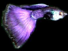 Neon-purple guppy