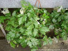 Cissus rhombifolia - Ciso, Viña de apartamento