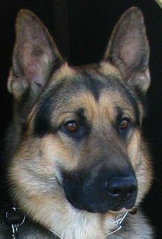 Wicked Training Your German Shepherd Dog Ideas. Mind Blowing Training Your German Shepherd Dog Ideas. Big Dogs, I Love Dogs, Cute Dogs, Dogs And Puppies, Doggies, Terrier Puppies, Bull Terriers, Bulldog Puppies, German Shepherd Puppies