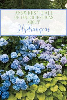 From planting to pruning and caring in between, here is the ultimate guide for your hydrangeas.