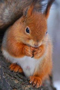 METAL REFRIGERATOR MAGNET Red Squirrel aka Eurasian Red Squirrel Sunflower Seeds