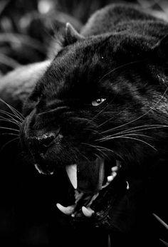 Black Panthers, Beautiful Cats, Animals Beautiful, Big Cats, Cats And Kittens, Regard Animal, Animals And Pets, Cute Animals, Wild Animals