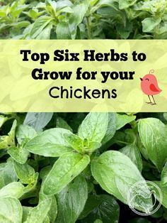 Top Six Herbs to Grow for Chickens - The Cape Coop #petchickens #ChickenCoop