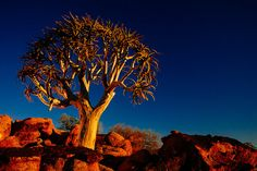 Kokerboom | by thecaveofthedead