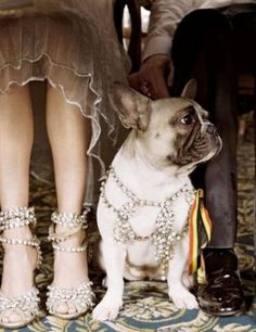 Fancy french bulldog rocking some bling!
