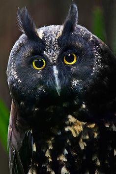 Shine Eyes | Owl