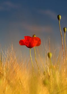 Releases the sound of heaven ! Love Flowers, Wild Flowers, Beautiful Flowers, Poppy Flower Painting, Flower Art, Red Poppies, Flower Photos, Amazing Nature, Beautiful Gardens