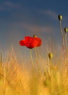 poppies #flowers